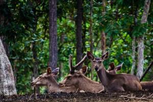 Chiang Mai Zoo Another Deers (Зоопарк Чианг Мая.)