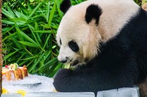 Chiang Mai Zoo Chuang Chuang Eating (Зоопарк Чианг Мая.)
