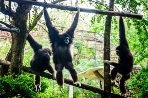 Chiang Mai Zoo Monkey Partytime (Зоопарк Чианг Мая.)