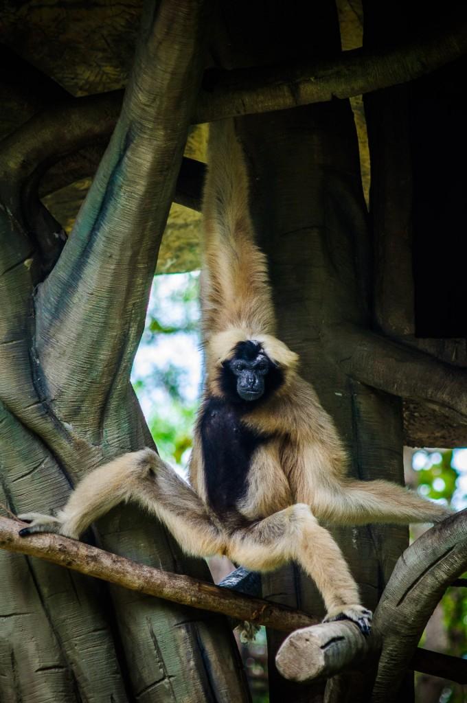 Chiang Mai Zoo Rockstar Lemur (Зоопарк Чианг Мая.)
