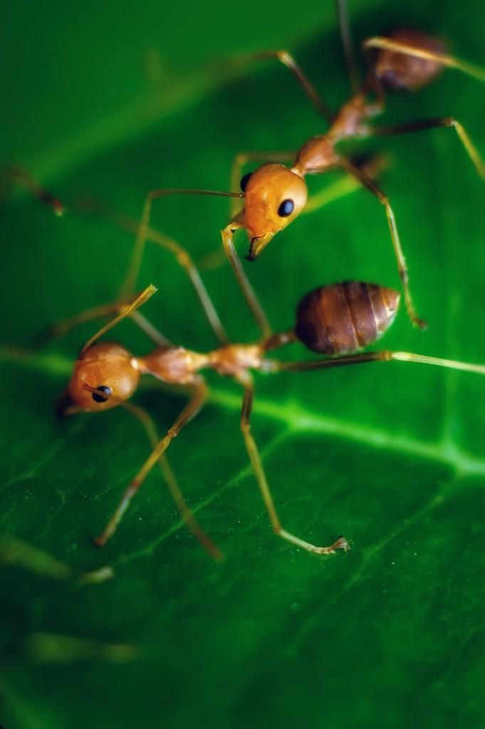 Macro Shot Of The Red Ants (Насекомые Таиланда: Рыжие муравьи.)