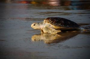 20 Th Annual Turtle Release 26 (20-й ежегодный выпуск морских черепах в море.)