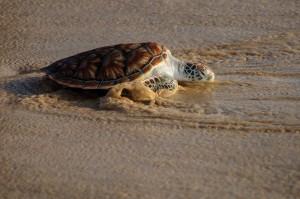 20 Th Annual Turtle Release 34 (20-й ежегодный выпуск морских черепах в море.)
