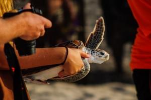 20-й ежегодный выпуск морских черепах в море. (20-й ежегодный выпуск морских черепах в море.)