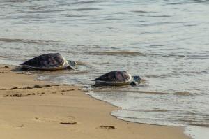 (20-й ежегодный выпуск морских черепах в море.)