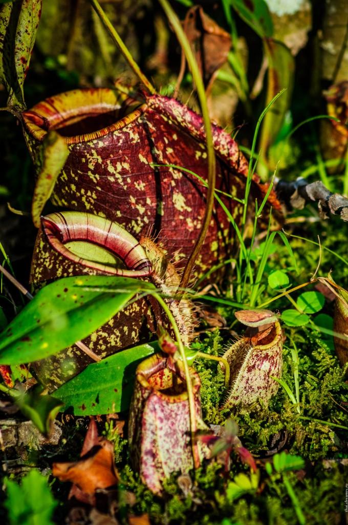 Penang Hill Carnivore Plants (Monkey cup garden @ Penang Hill, парк кувшиночников. Penang, Malaysia.)