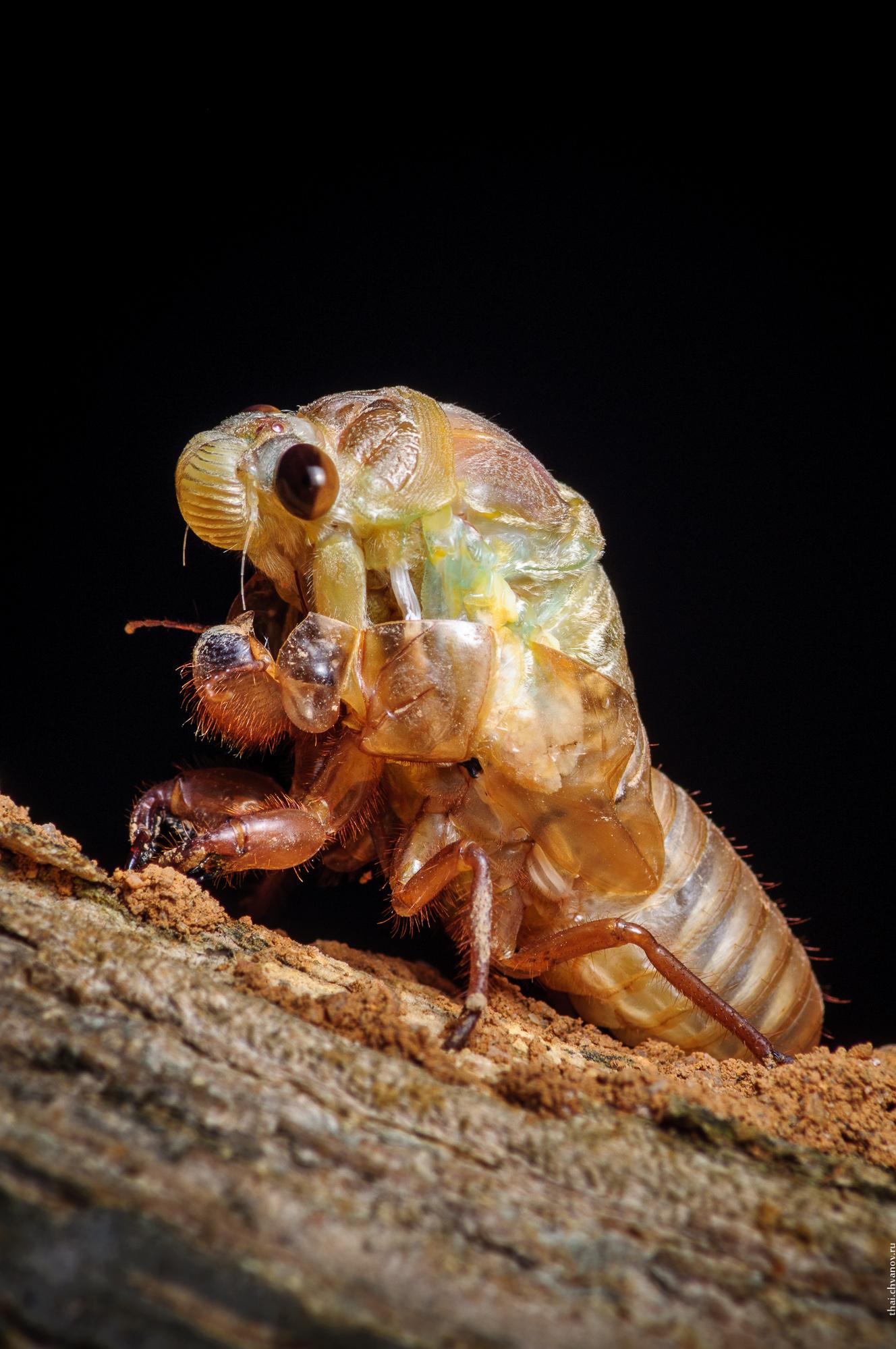 Процесс линьки нимфы цикады в картинках.