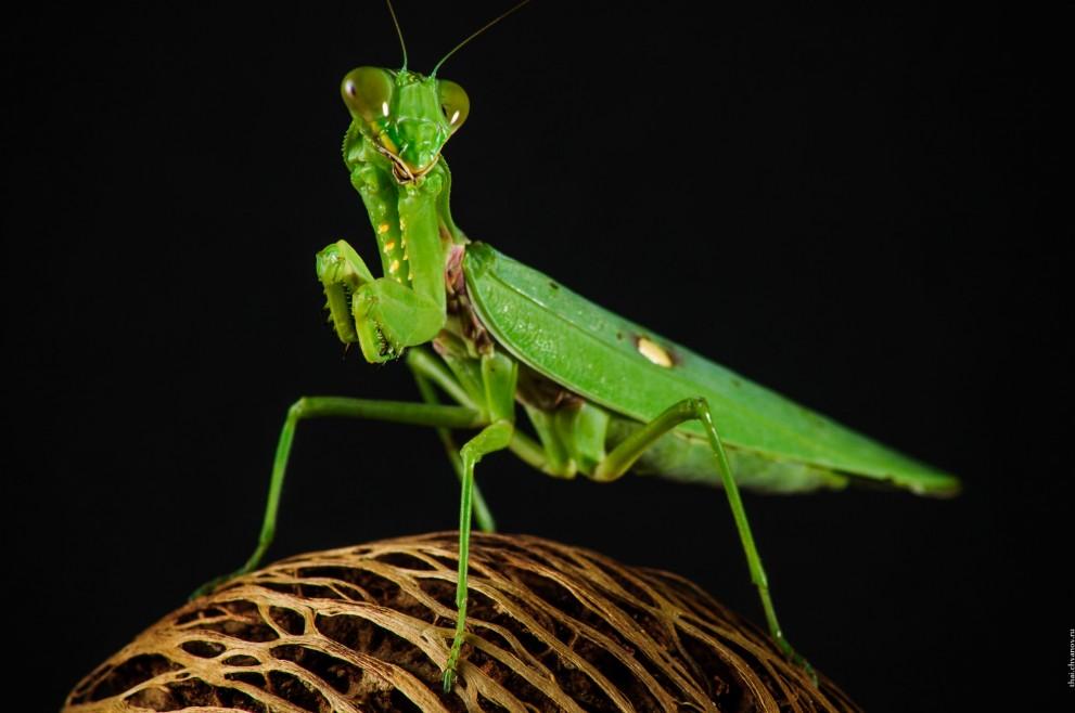 Rhombodera Basalis, макро фотографии зеленого богомола.