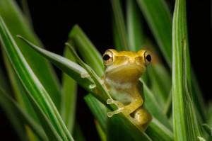Лягушёнок золотой древесной жабы. Polypedates leucomystax. (Молодой лягушонок, которого чуть не съел геккон.)