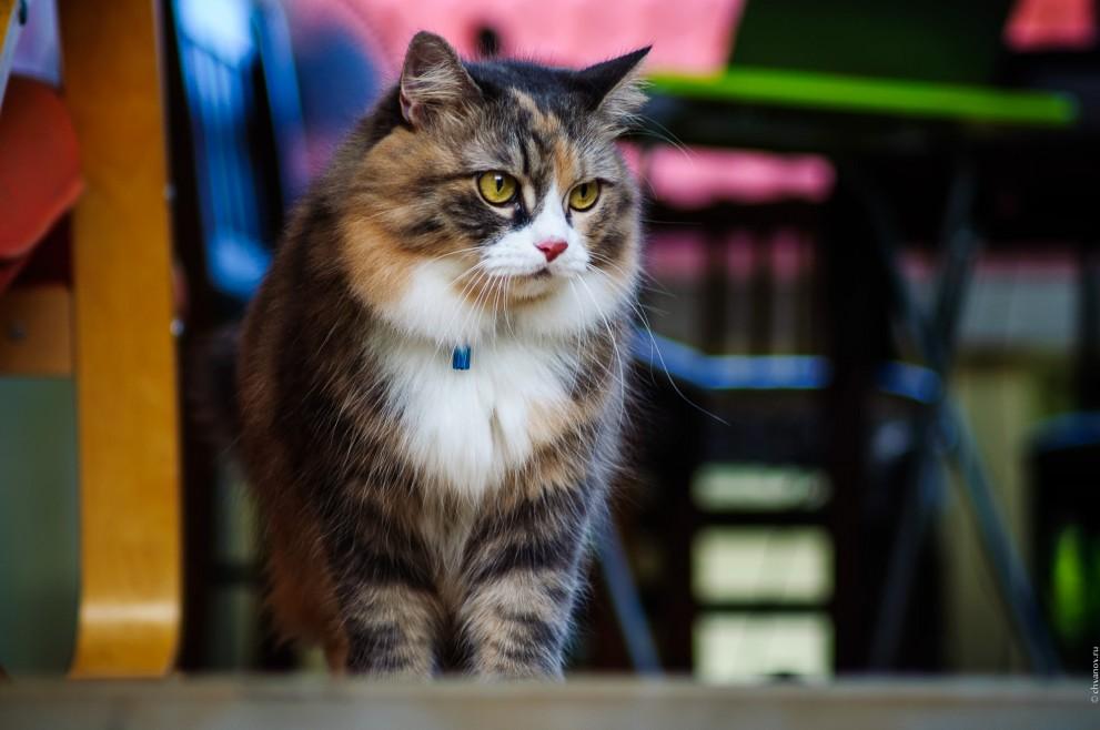 Сибирская кошка по имени Кошка.