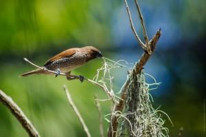 Кто-то немного похожий на воробья ворует мох. (Одна из причин, по которым я люблю Таиланд.)