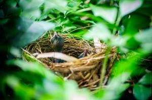 bird-feeds-nestlings-03 (Кормление птенцов Бульбулем Желтобрюхим.)
