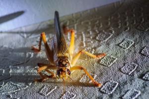 big-thai-grasshopper-05 (Насекомые Таиланда: Толи кузнечик, толи сверчок…)