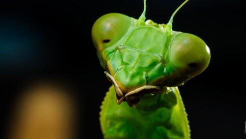 Зелёный богомол, Rhombodera Basalis