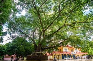 Дерево Бодхи у входа в Пещерный храм (Пещерный храм или Wat Suwan Kuha.)