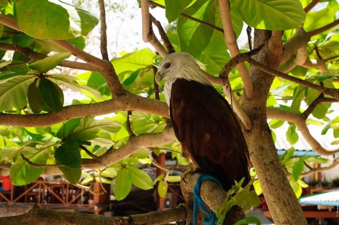 Браминский коршун на дереве.