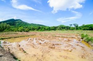 Рисовые поля (Остров Ко Яо Ной)
