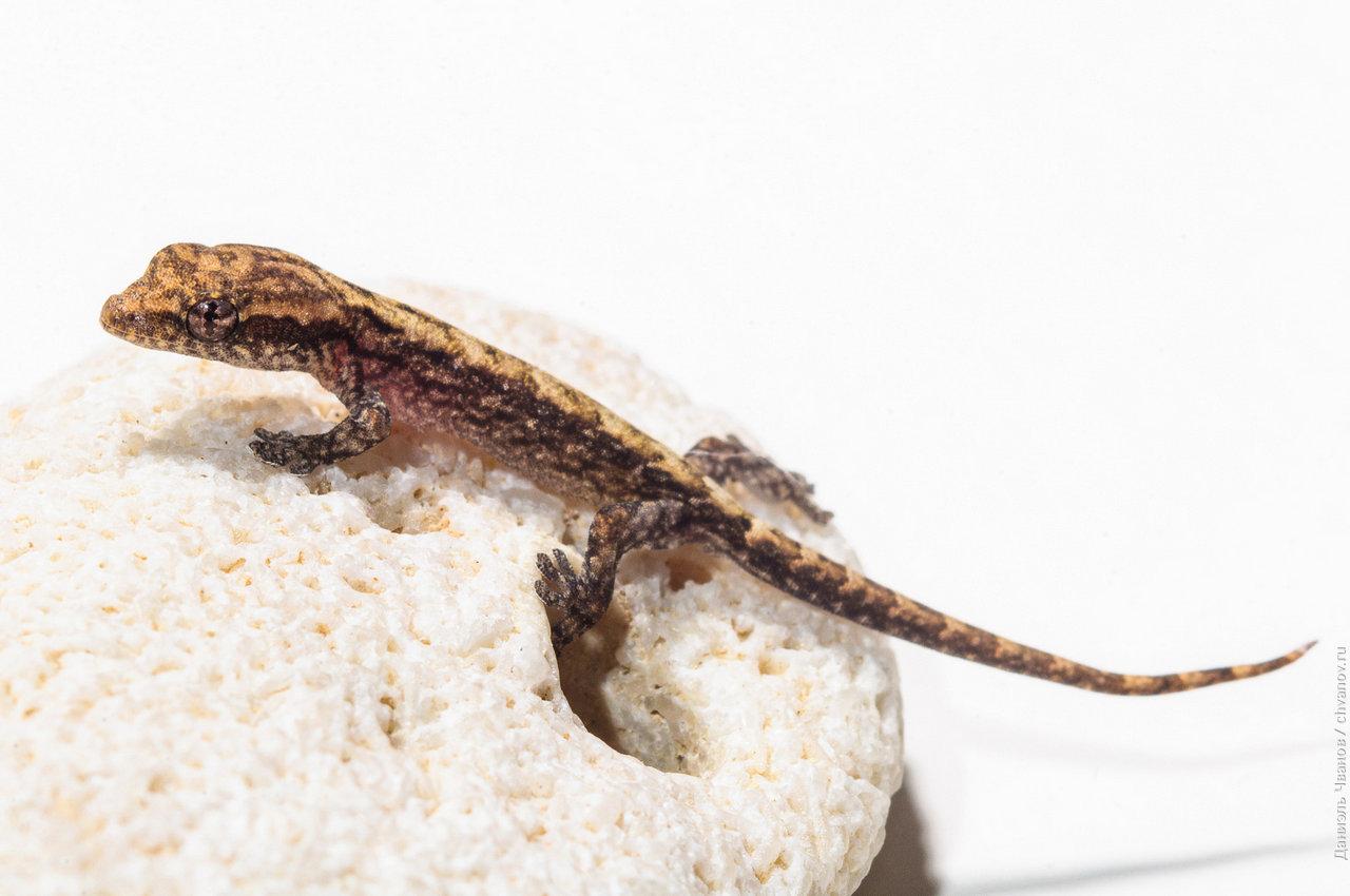 Маленький геккон на камне. Макро фотография.