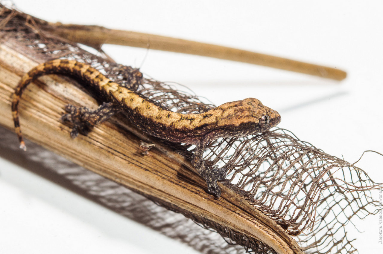 Макро фотография геккона на коре пальмы