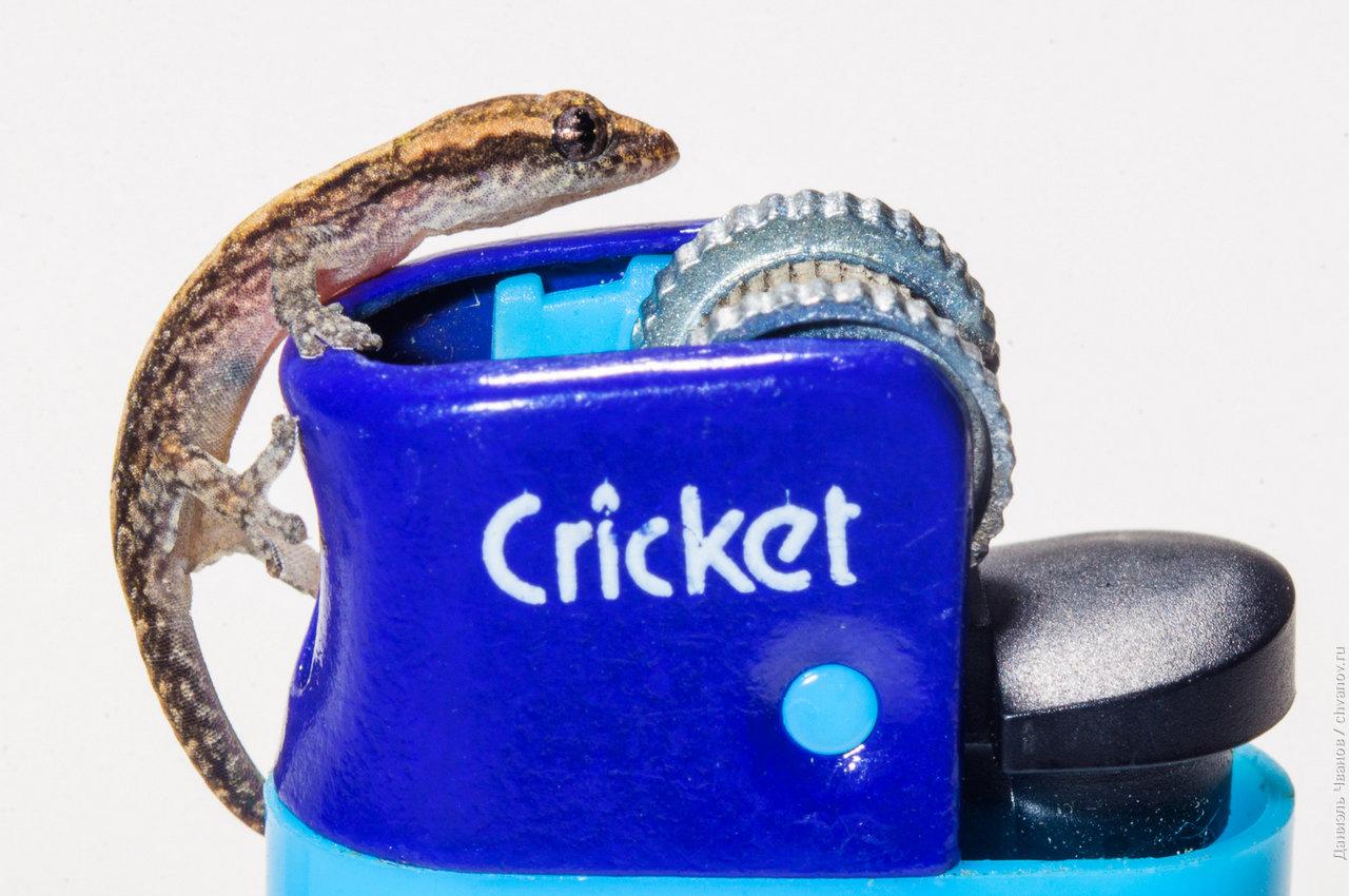 Для понимания размера - этот геккончик на зажигалке Cricket