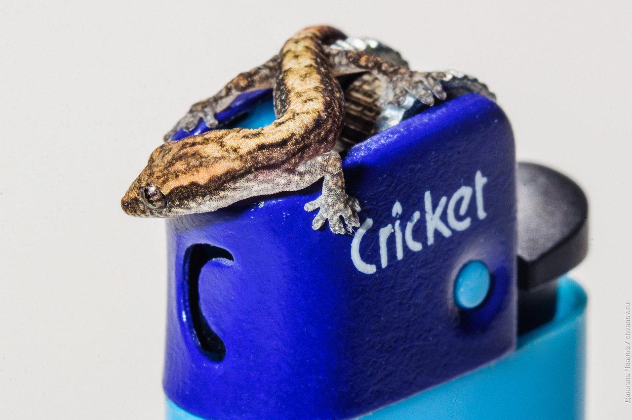 Для понимания размера - этот геккончик и зажигалка Cricket