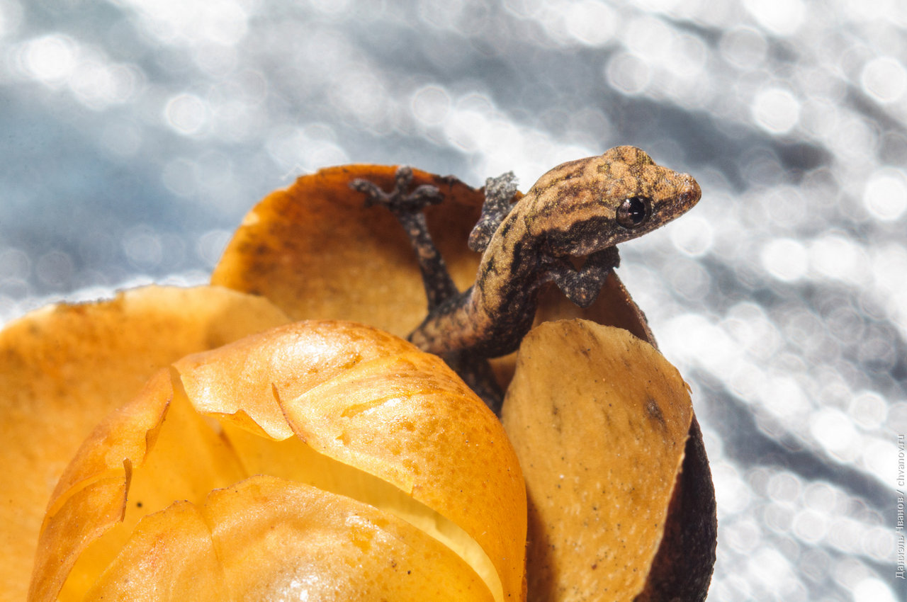 Макро фотография геккона вылазящего из убежища