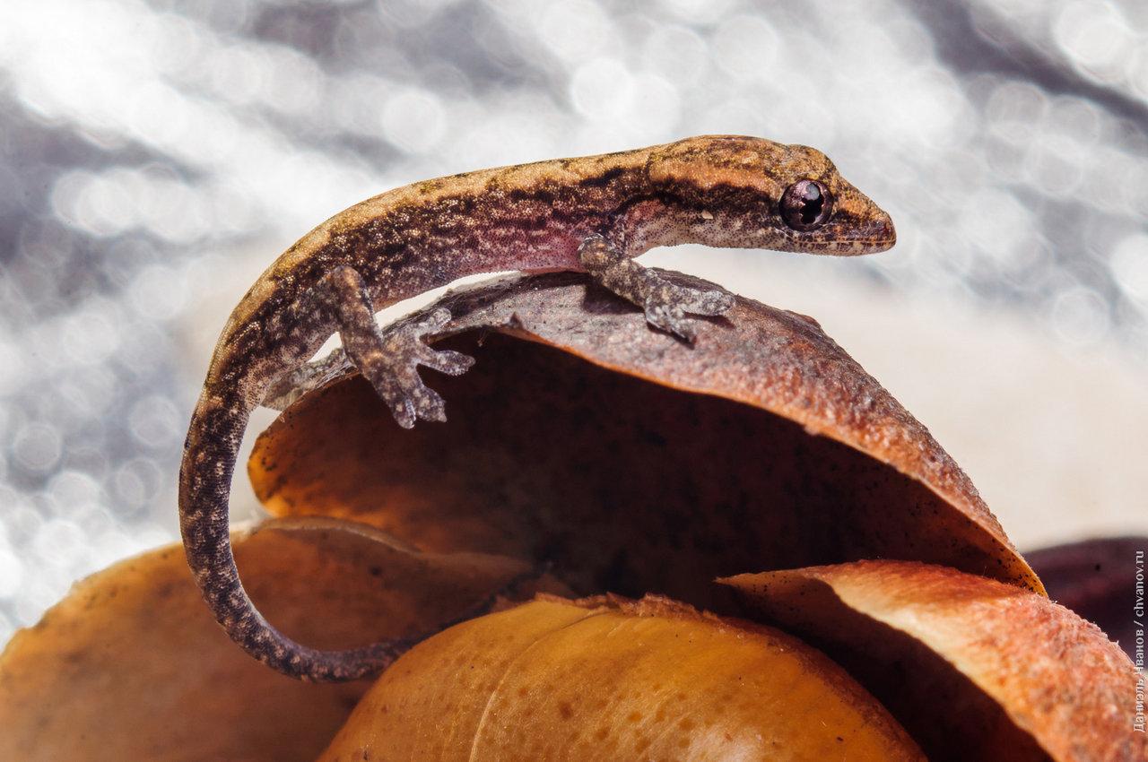 Макро-фото геккона правым боком.
