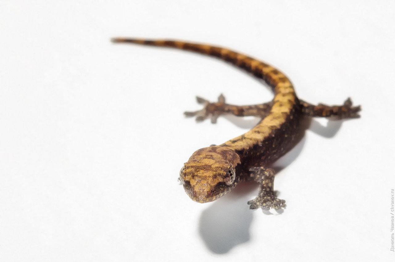 Макро фотография геккона на белом фоне