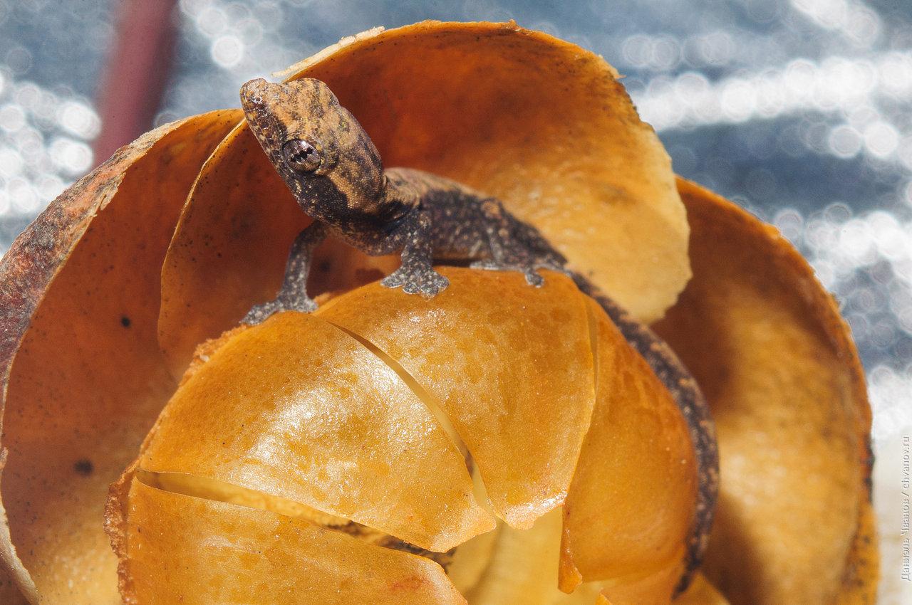 Макро-фотография геккона