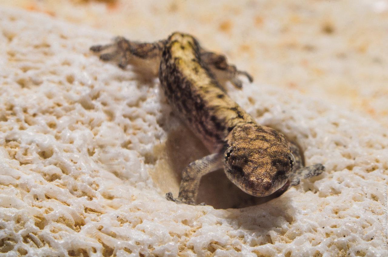 Маленький геккон смотрит в камеру