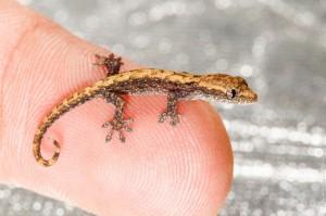 small-gekko-on-my-finger (Макро-фото: Детёныш геккона)