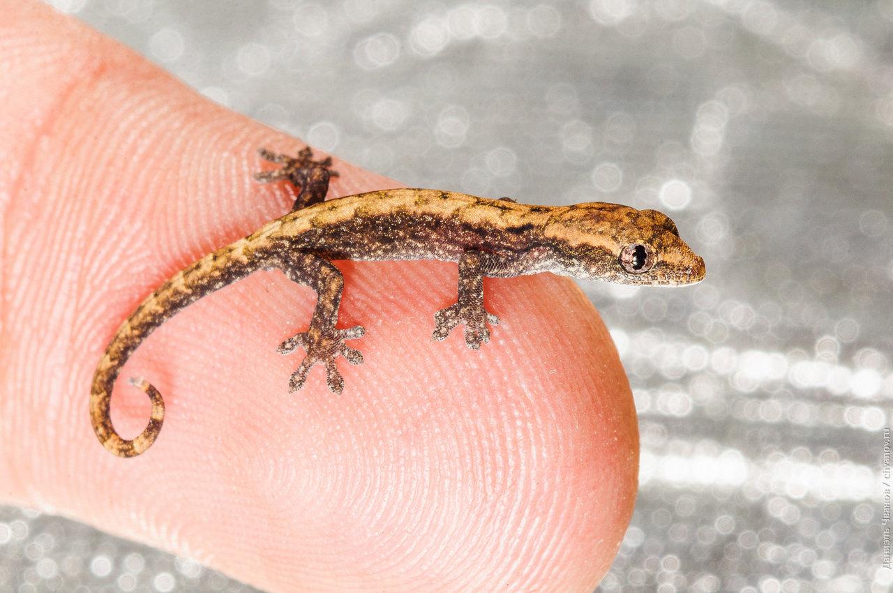 Макро фотография геккона на пальце