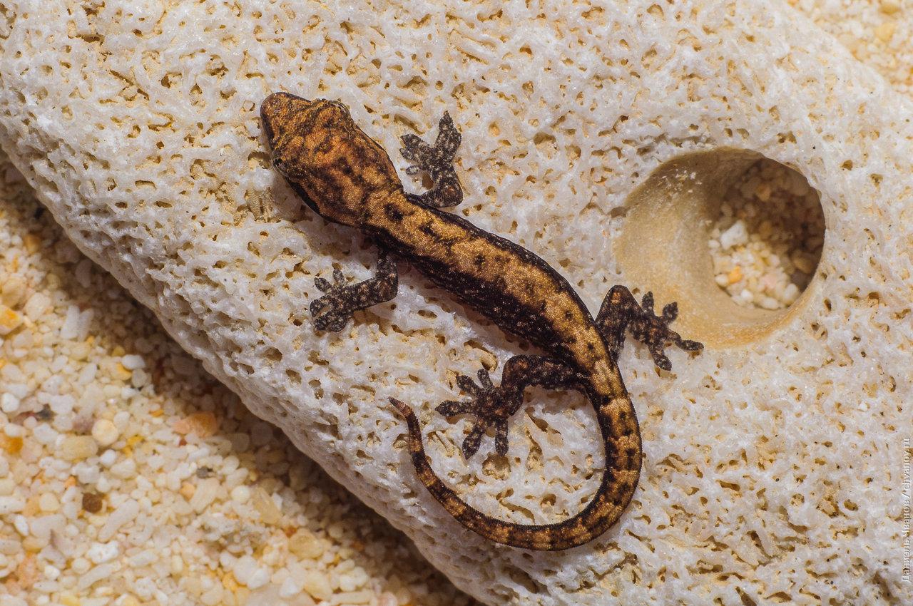 Классическое фото геккона на камне
