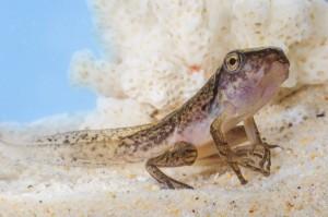 tadpole-macro-12 (Головастик древесной лягушки за день до метаморфозы)