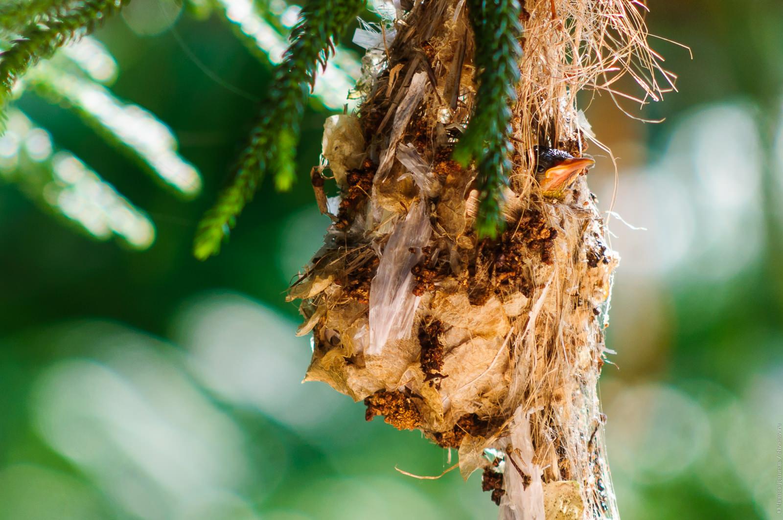 Птенец желтобрюхой нектарницы выглядывает из гнезда.