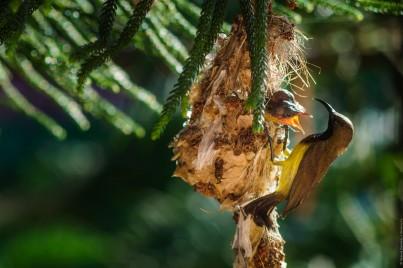 Самец желтобрюхой нектарницы на гнезде с птенцами