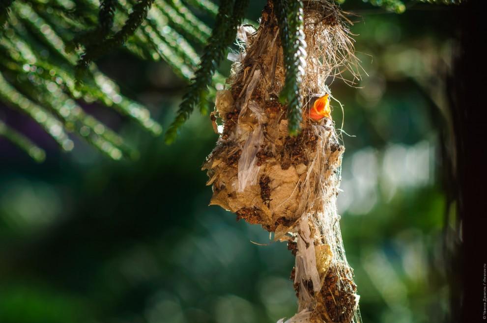 Птенец желтобрюхой нектарницы в гнезде просит еды