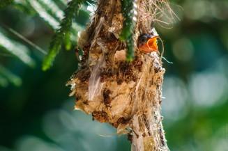 Птенцы желтобрюхой нектарницы в гнезде.