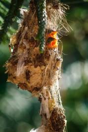 Птенцы желтобрюхой нектарницы в гнезде