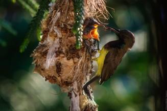 Папа-птиц с полным клювом еды.