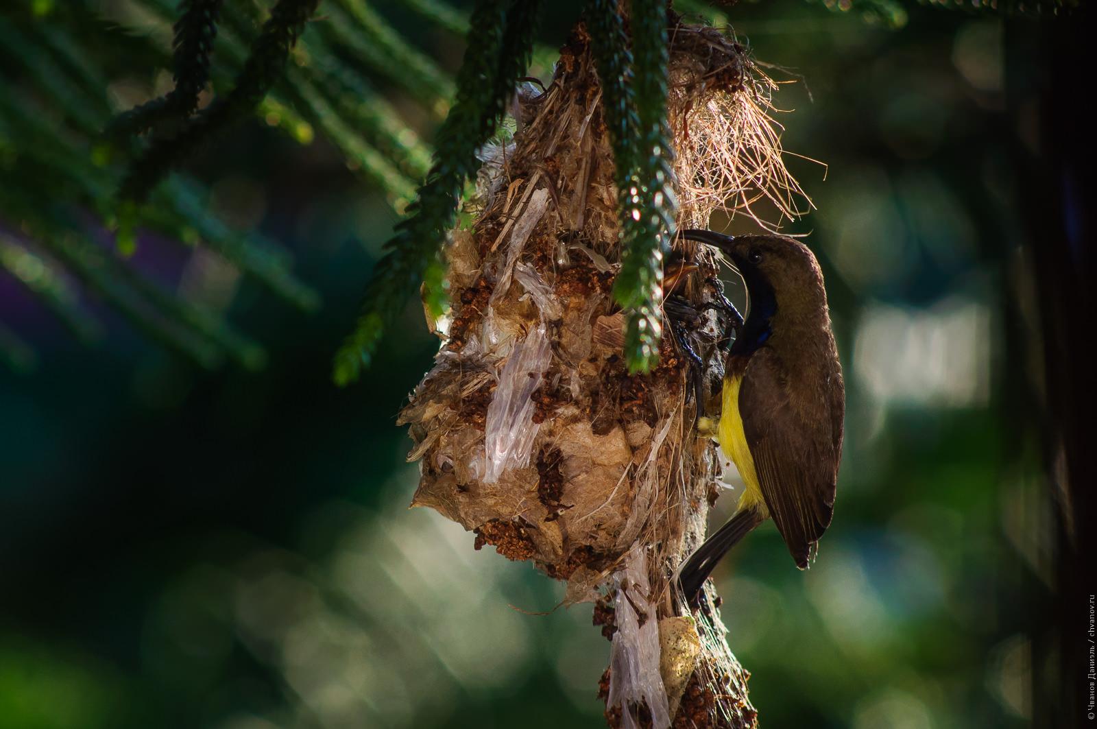 Папа-птиц на гнезде.