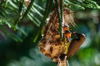 Папа-птиц принёс паучка на обед.