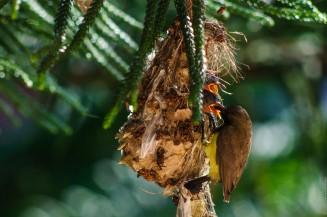 Самец желтобрюхой нектарницы на гнезде кормит птенца
